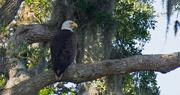 19th Apr 2018 - Bald Eagle Just Chillin!