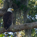 Bald Eagle Just Chillin!