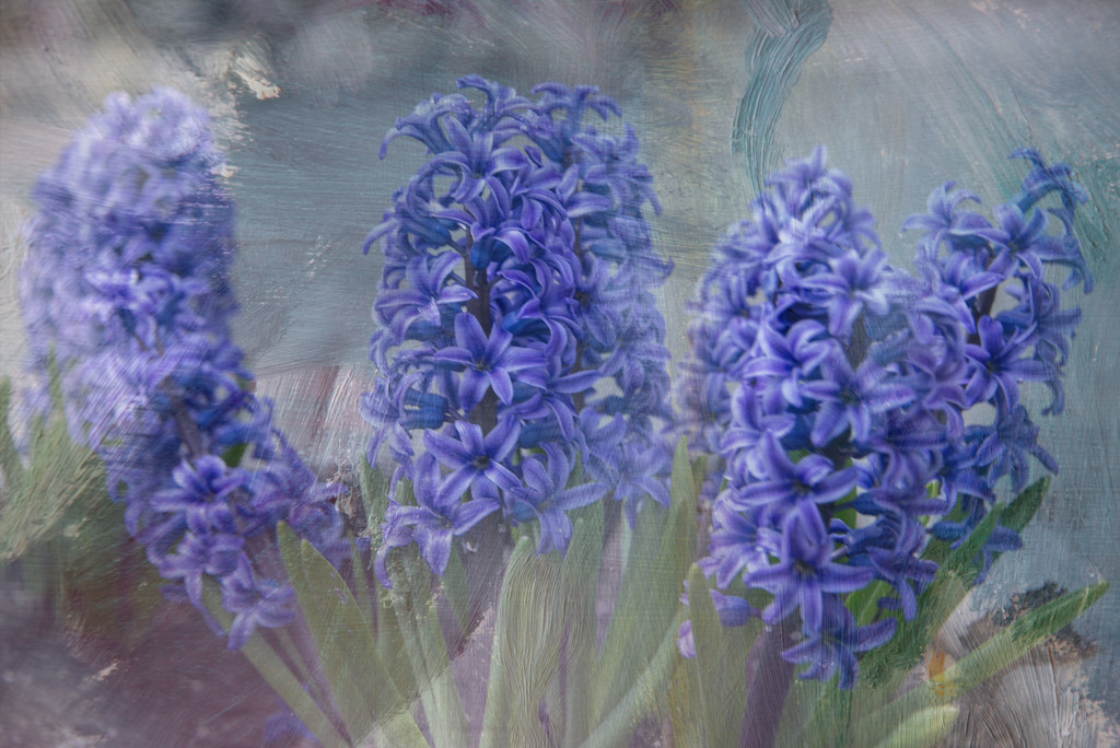 Giant Hyacinths Maybe or Pretty Purple Flowers by taffy