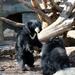 Sloth Bears Playing