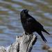 ~Crow Fan~