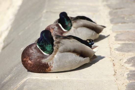 Let Sleeping Ducks Lie by jamibann