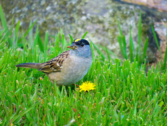 Golden-Crowned Sparrow -- Male by seattlite