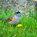 Golden-Crowned Sparrow -- Male