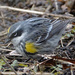 Yellow-rumped Warbler by annepann