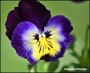 20th Apr 2018 - The pansies have lovely little faces