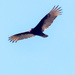 Turkey Vulture Approach