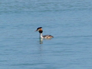 20th Apr 2018 - Great Crested Grebe