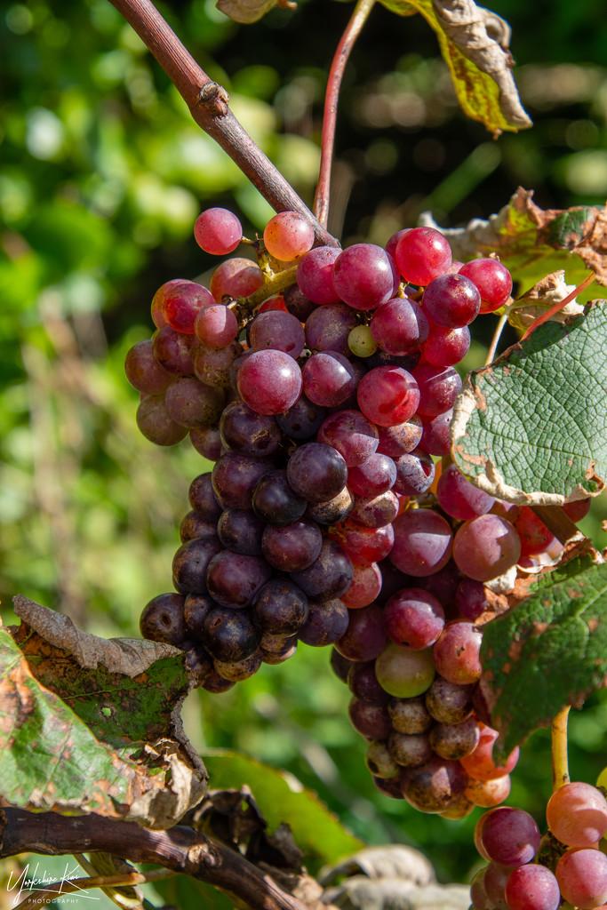 Grapes by yorkshirekiwi