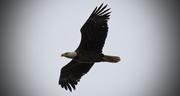 20th Apr 2018 - Bald Eagle Riding the Wind!