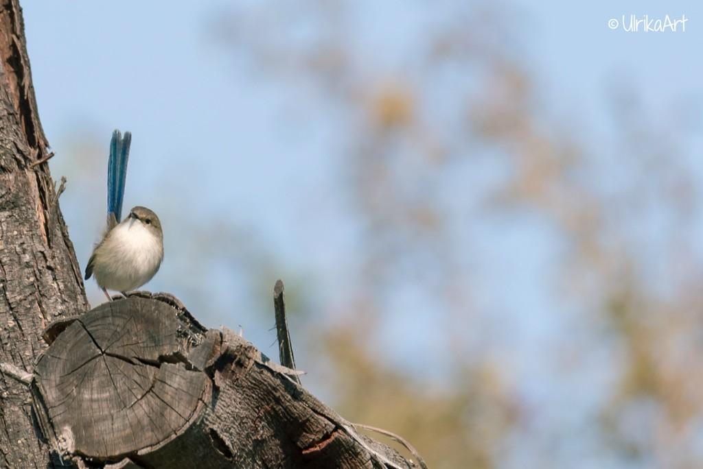 Male fairy wren in a tree by ulla