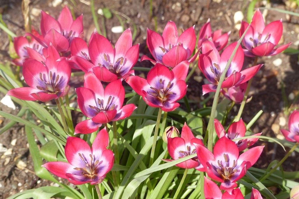 National Trust Card Tulips by foxes37