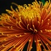 Chrysanthemum by maureenpp