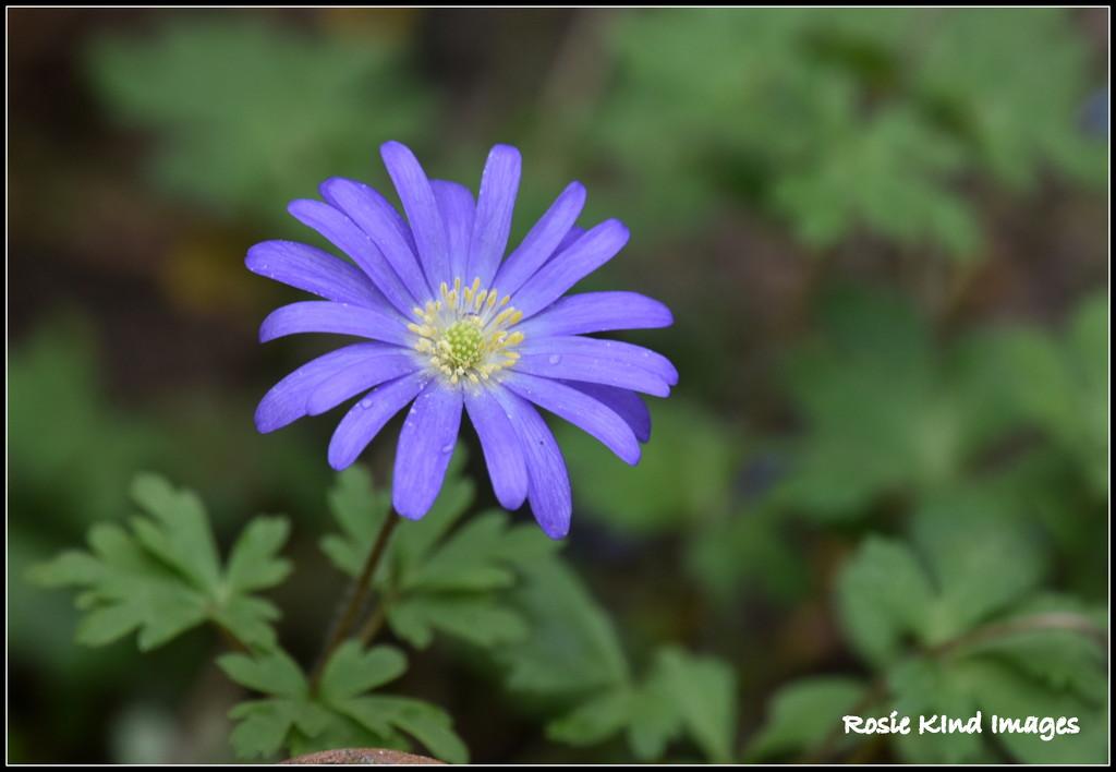 Spring flower  by rosiekind