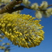 Willow catkins and blue skies