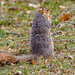 Squirrel Prairie Dogging