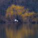 Egrets in flight by yellow spring trees