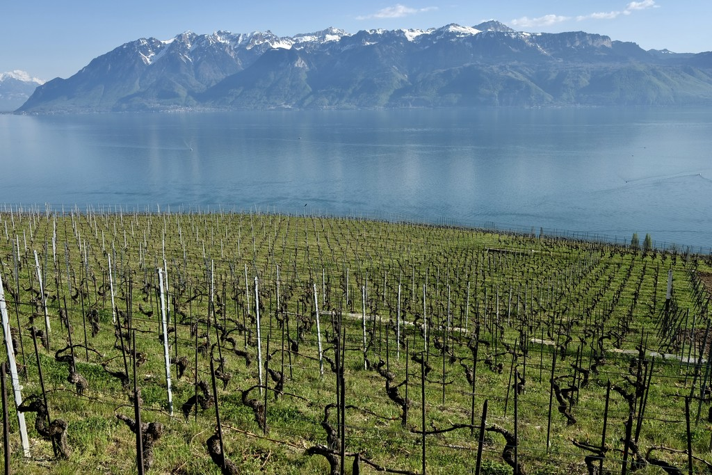 Wineyard, lake and mountain by vincent24
