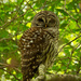 Barred Owl Behind the Limbs!