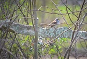 21st Apr 2018 - White-Throated Sparrow