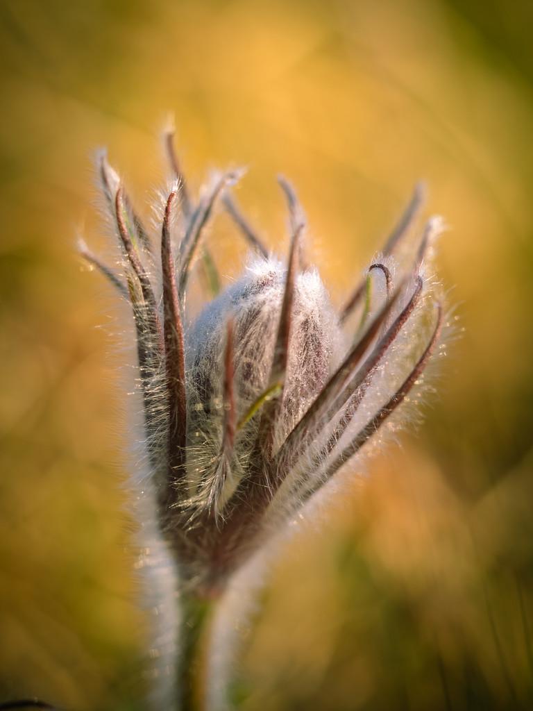 Pasqueflower by haskar