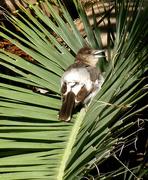 22nd Apr 2018 - Juvenile Pied Butcher Bird?