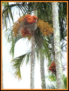 23rd Apr 2018 - Fully in bloom  Piccabeen  Palm