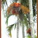 Fully in bloom  Piccabeen  Palm