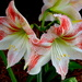 Amaryllis, Hampton Park, Charleston, SC by congaree
