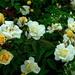 Roses, Hampton Park, Charleston, SC