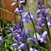 Bluebells in the garden  by beryl