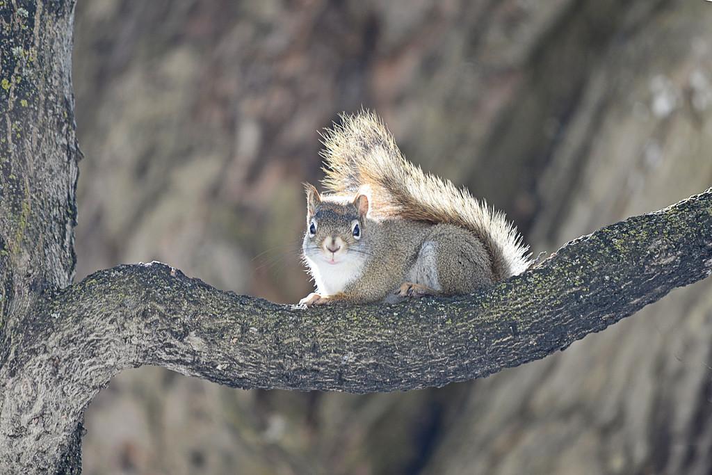 Backlit  red squirrel! by fayefaye