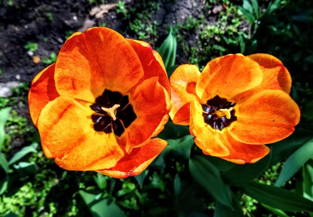 Orange tulips by boxplayer