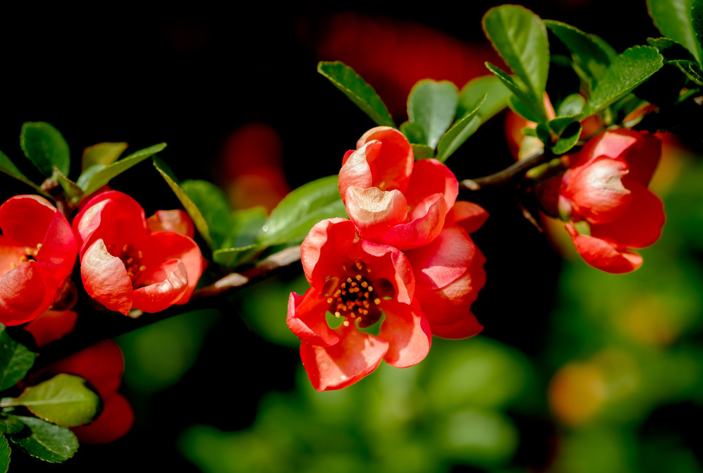 Paimpont 2018: Day 87 - Quince Blossom by vignouse