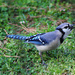 Singing Blue Jay