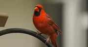 22nd Apr 2018 - Mr Cardinal Waiting His Turn!
