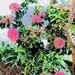 Pretty Pink Ixora Plants