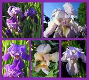 18th Apr 2018 - Irises in bloom