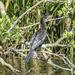 Cormorant posing