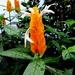 Candle bush(Pachysachys  Lutea)