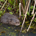 Water Vole Stand Off