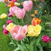 Tulip Border by phil_sandford