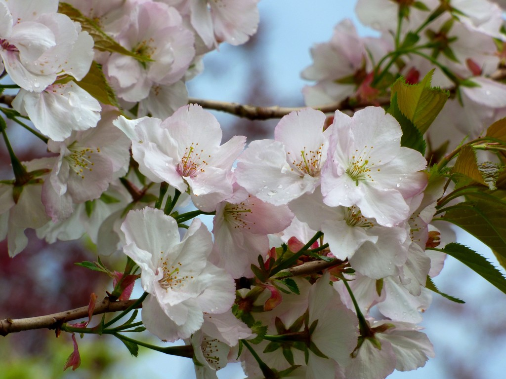 Cherry Blossom by julienne1