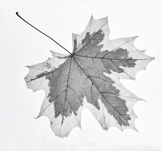 Variegated Leaf by netkonnexion