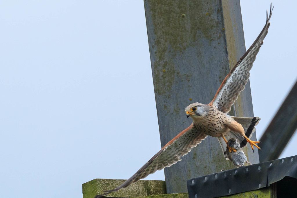 Kestrel with large catch by padlock