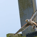 Kestrel with large catch