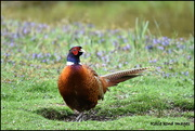 23rd Apr 2018 - A magnificent pheasant