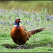 A magnificent pheasant