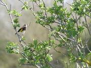 23rd Apr 2018 - European Goldfinch