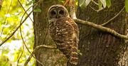 23rd Apr 2018 - Barred Owl Up Close!